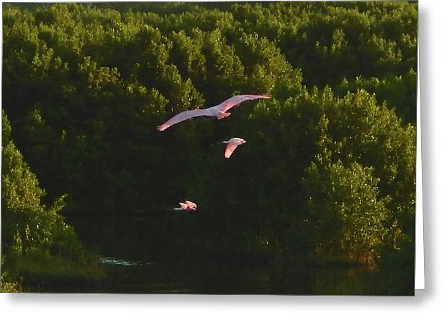 Roseate Spoonbills In Flight Greeting Card by Terry Cobb