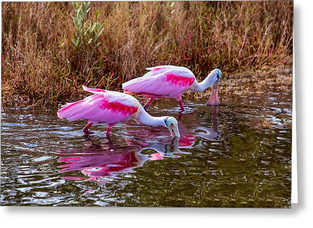 Roseate Spoonbills Swishing For Food Greeting Card