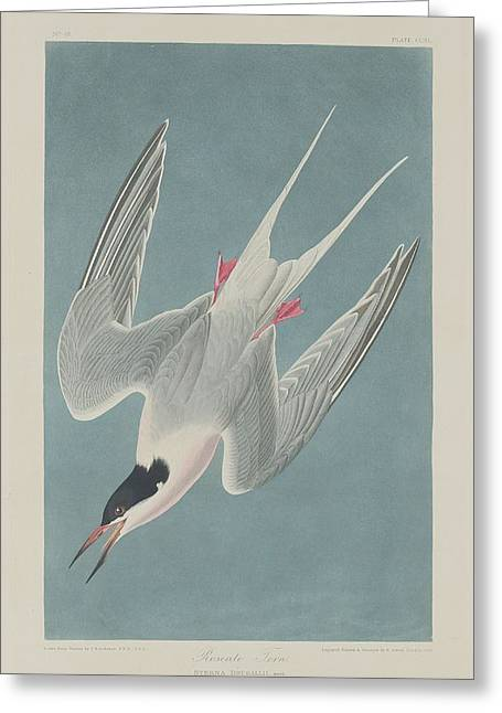 Roseate Tern Greeting Card
