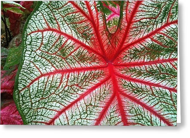 Rosebud Caladiums.2 Greeting Card by Mpagijk Mpagijk