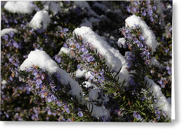 Rosemary Snow Eclairs Greeting Card