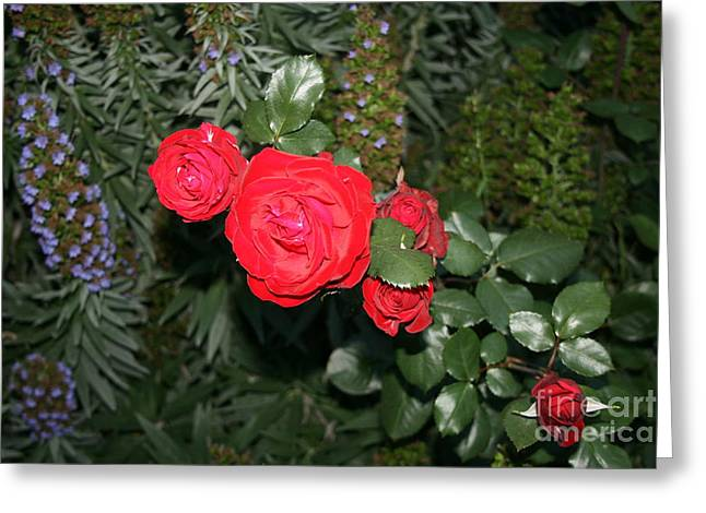 Greeting Card featuring the photograph Roses Among by Cynthia Marcopulos