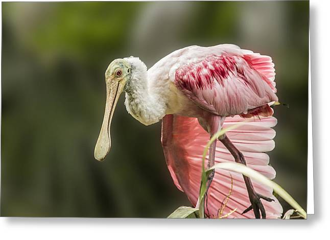 Greeting Card featuring the photograph Rosette Spoonbill Wings by Paula Porterfield-Izzo