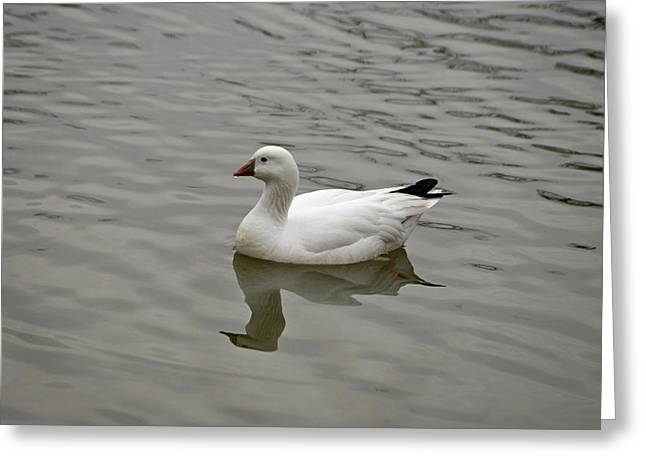 Greeting Card featuring the photograph Ross's Goose by Sandy Keeton