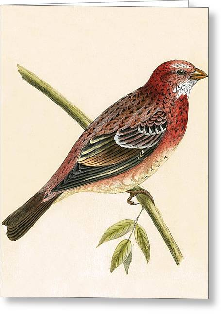 Rosy Bullfinch Greeting Card by English School