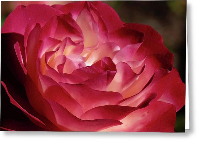 Rosy Closeup Greeting Card