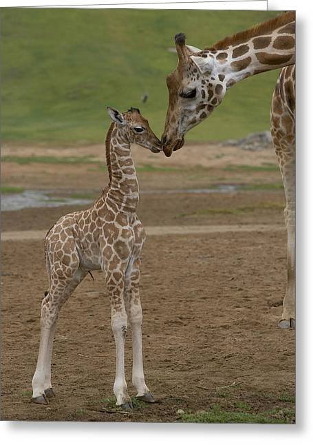 Mp Greeting Cards - Rothschild Giraffe Giraffa Greeting Card by San Diego Zoo