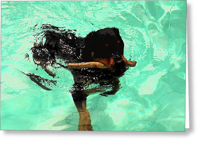 Rottweiler Dog Swimming Greeting Card by Sally Weigand