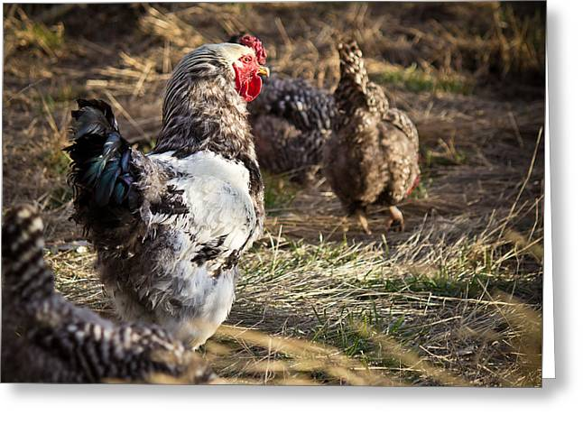Rough Rooster - Wyoming Greeting Card