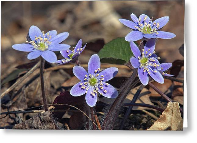 Round-lobed Hepatica Dspf116 Greeting Card