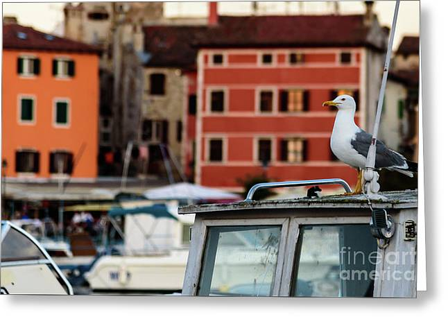 Rovinj Harbor Seagull - Rovinj, Istria, Croatia Greeting Card
