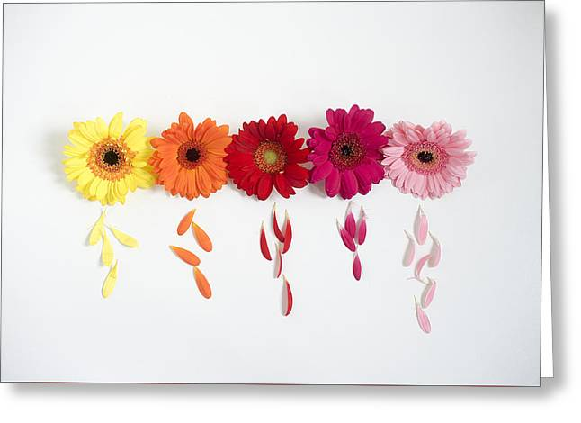 Row Of Gerbera Daisies On White Background Greeting Card