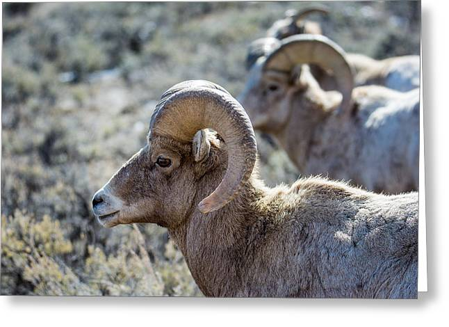 Row Of Sheep Greeting Card