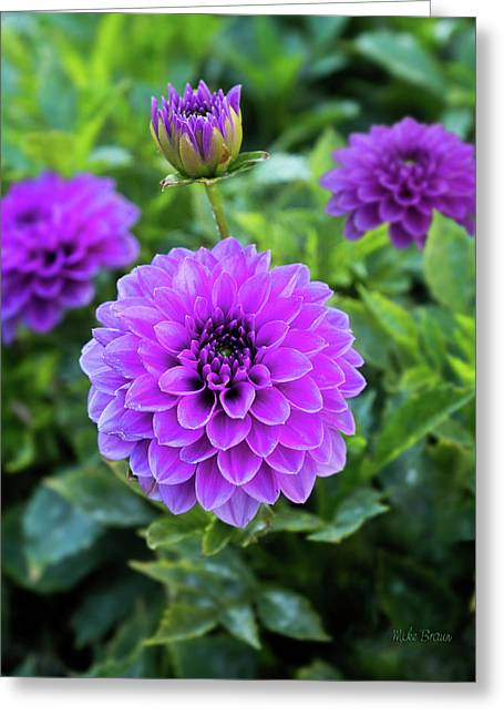 Royal Dahlia Delight Greeting Card
