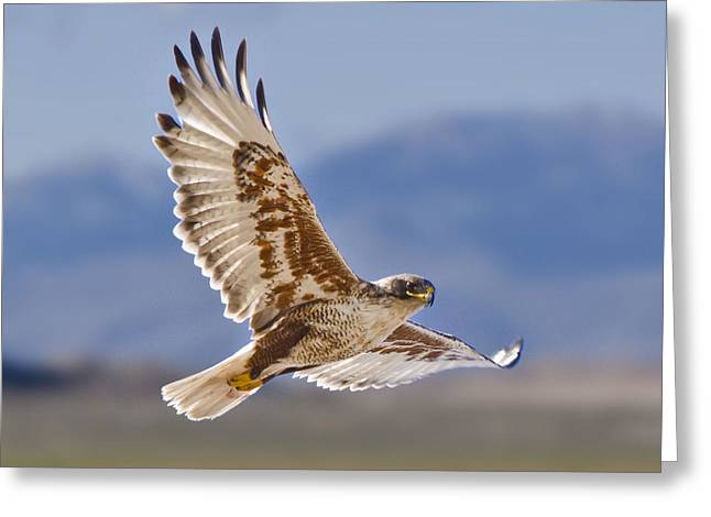 Royal Hawk Greeting Card