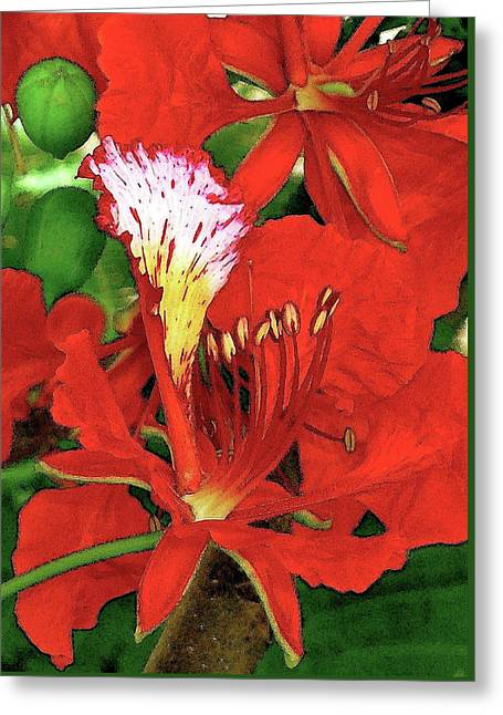 Royal Poinciana Greeting Card