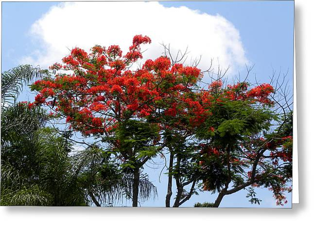 Royal Poinciana Tree Greeting Card by Terri Mills