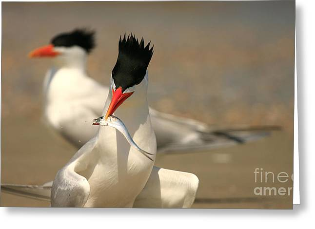 Royal Tern Catch Greeting Card
