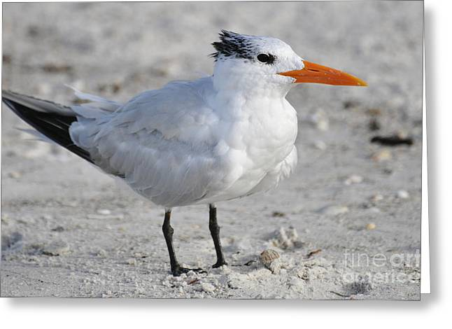 Royal Tern  Greeting Card by Rose  Hill