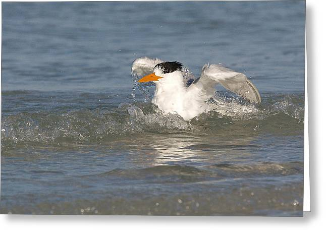 Greeting Card featuring the photograph Royal Tern Takes A Wash by Phil Stone