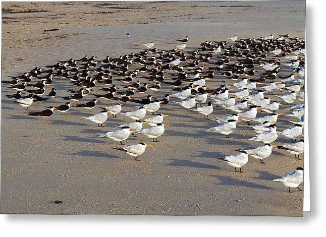 Royal Terns At Sebastian Inlet In Florida Greeting Card by Allan  Hughes