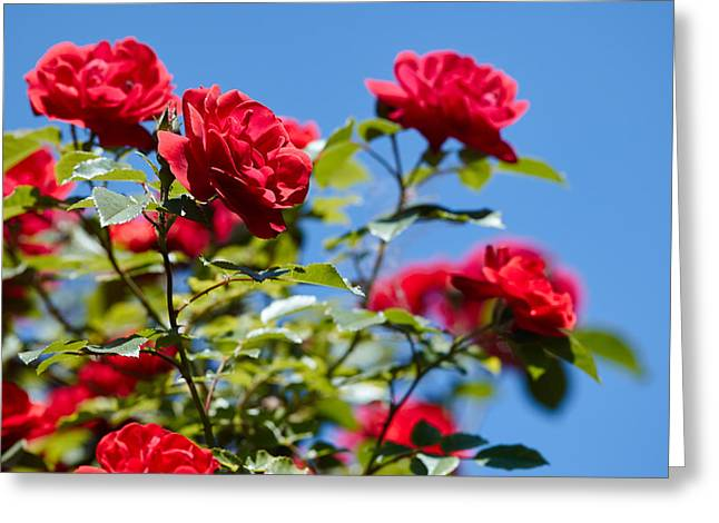 Roze Greeting Card by Hasses