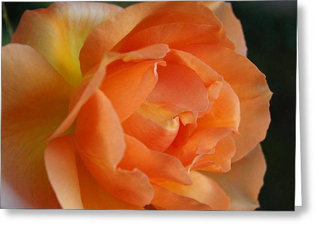 Roze Greeting Card by Michael Nollta