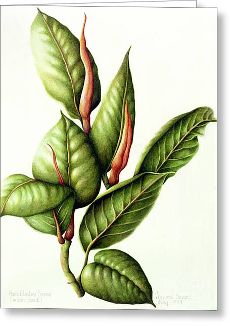Rubber Plant Greeting Card by Annabel Barrett
