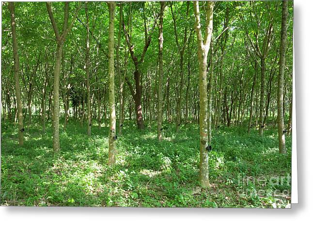 Rubber Tree Plantation, Ko Phayam, Ranong, Thailand Greeting Card by Roberto Morgenthaler