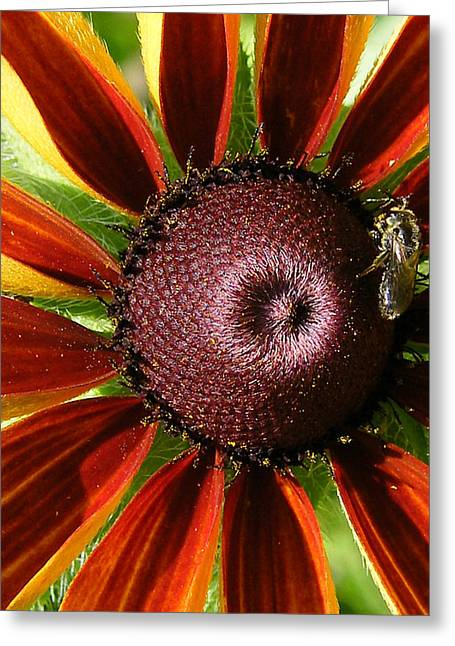 Rubeckia And Bee Greeting Card by Margaret G Calenda