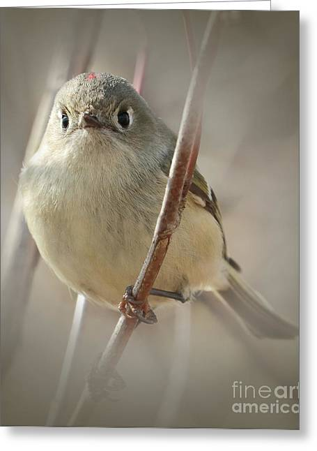 Ruby-crowned Cuteness Greeting Card by Anita Oakley