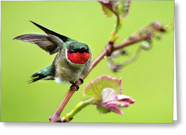 Ruby Garden Hummingbird Greeting Card