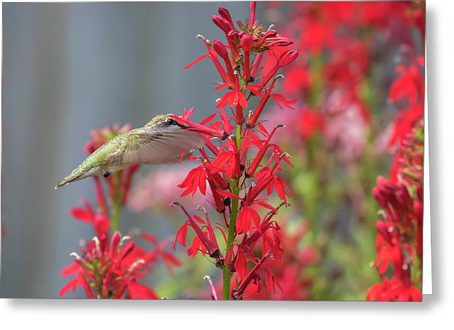 Ruby Throated Hummingbird 2017-3 Greeting Card