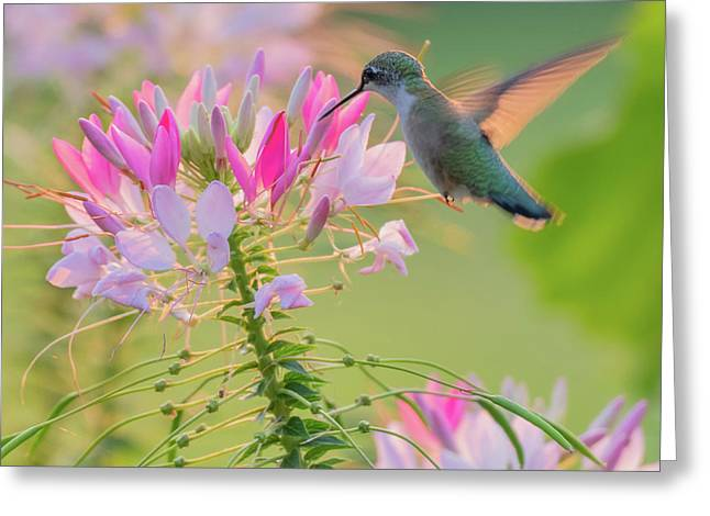 Ruby Throated Hummingbird 3 Square Greeting Card