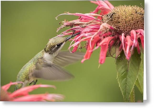 Ruby Throated Hummingbird 4-2015 Greeting Card by Thomas Young