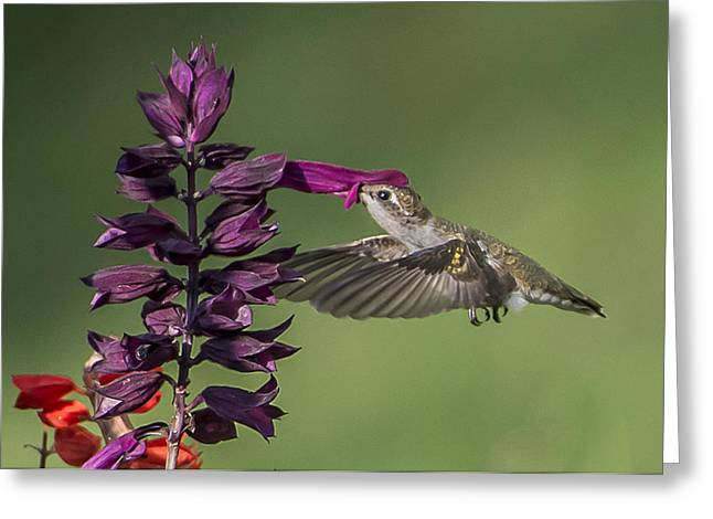 Ruby Throated Hummingbird At Purple Salvia Flower Greeting Card
