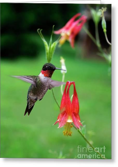 Ruby-throated Hummingbird  Looking For Food Greeting Card