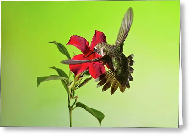 Ruby-throated Hummingbird On Mandavilla Flower Greeting Card by Lara Ellis