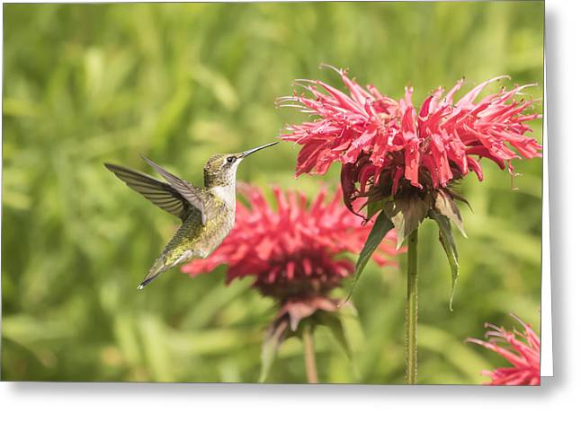 Ruby Throated Hummingbird Greeting Card by Thomas Young