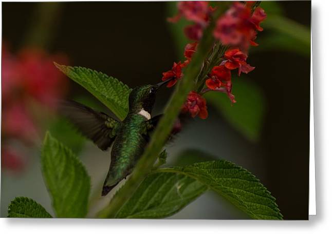 Ruby-throated Hummingbird  Greeting Card by Zina Stromberg