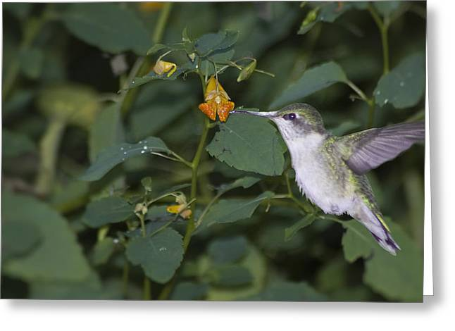 Rubythroated Hummingbird And Jewel Weed Greeting Card