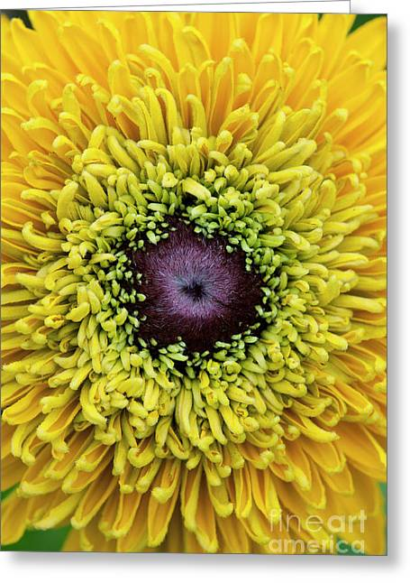 Rudbeckia Hirta Maya Greeting Card by Tim Gainey