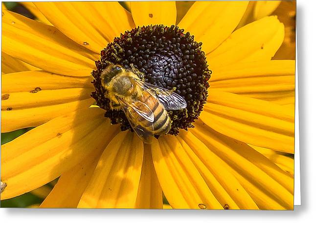 Rudbeckia With Bee Greeting Card
