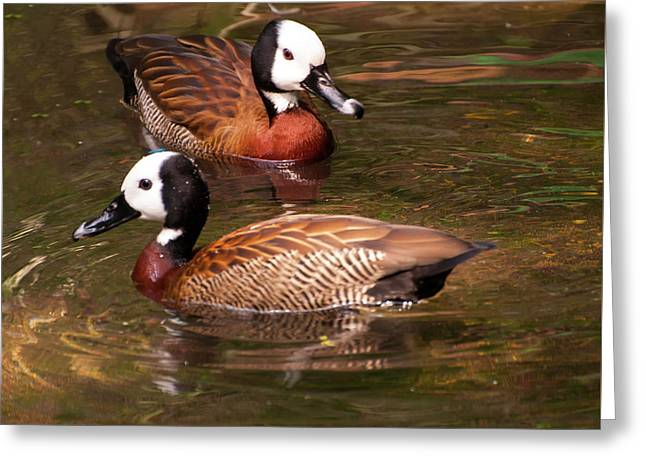White-faced Whistling Duck Greeting Card by Chris Flees
