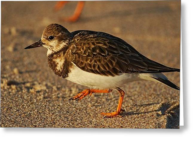Ruddy Turnstone Greeting Card by Andrew Johnson
