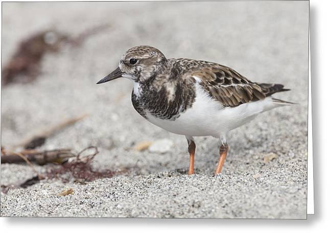 Ruddy Turnstone On The Beach Greeting Card