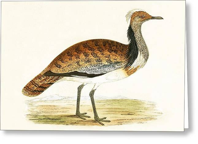 Ruffed Bustard Greeting Card