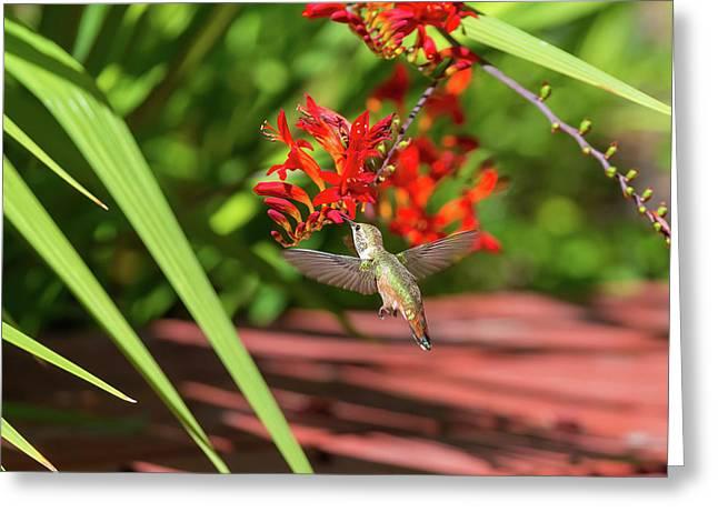 Rufous Hummingbird Feeding On Flower Nectar Greeting Card