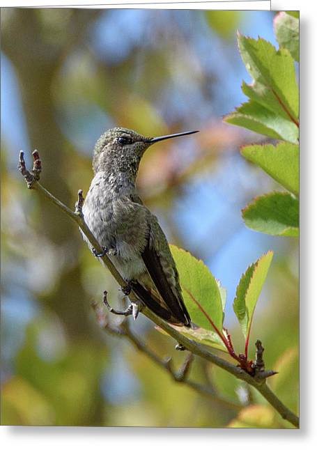 Rufous Hummingbird Greeting Card