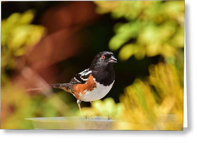 Rufous Sided Towhee 1 Greeting Card by Linda Brody